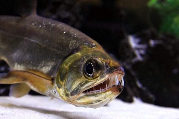 Скумбриевидный гидролик аквариумные рыбки, животные, необычные рыбы, рыбы