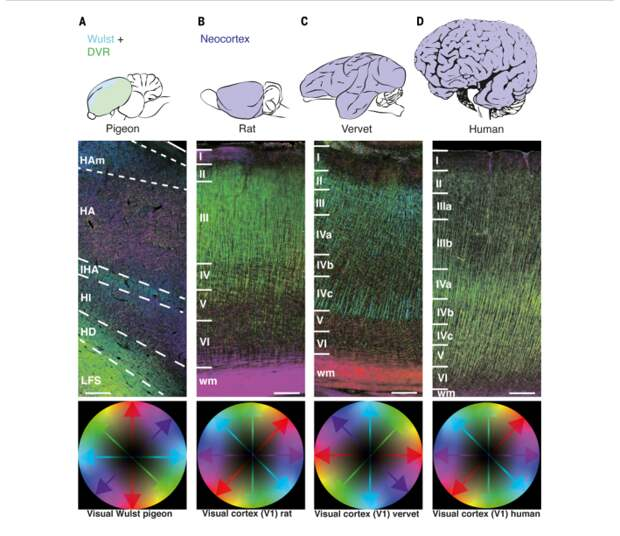 У птиц обнаружили сознание и схожую с млекопитающими архитектуру мозга