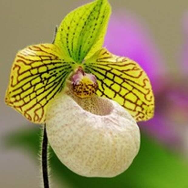 Орхидея-башмачок