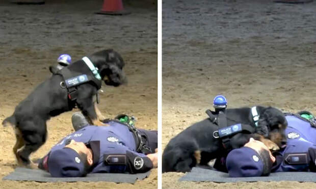 Полицейский пес Пончо «спас» жизнь офицеру, сделав ему массаж сердца