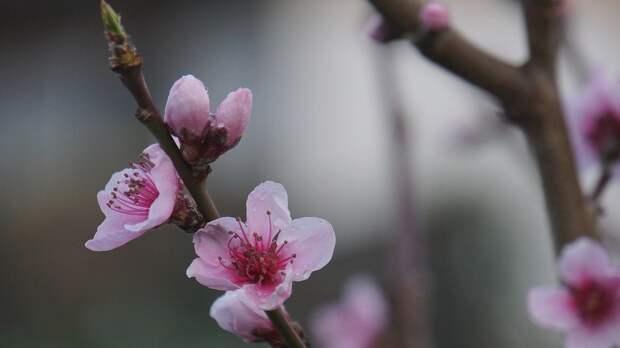 Фруктовые сады Крыма пострадали от заморозков