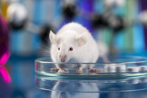 Ученые частично омолодили стволовые клетки в костном мозге мышей