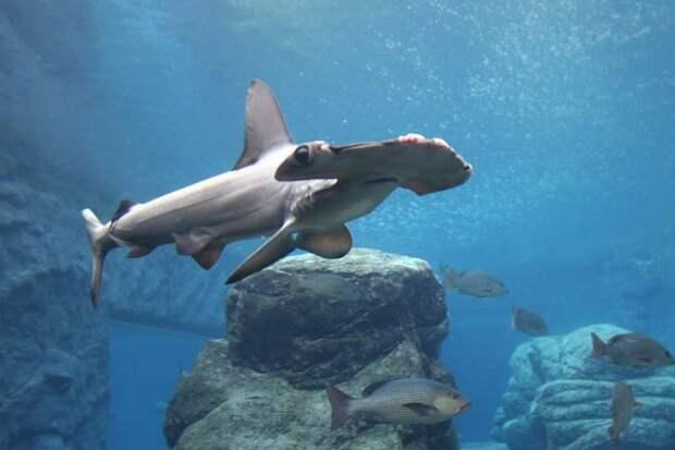 Для чего акуле-молот нужен молот?