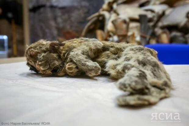 Как живые. Кого ученые обнаружили в якутской многолетней мерзлоте Мамонт, Якутия, Археологические находки, Клонирование, Длиннопост