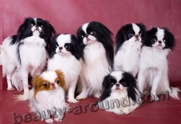 Японский хин самая красивая комнатная собачка, породы собак с фотографиями