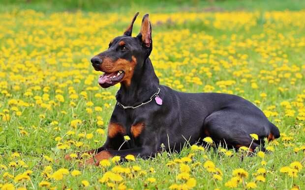 Собаки каких пород самые умные? (21 фото)