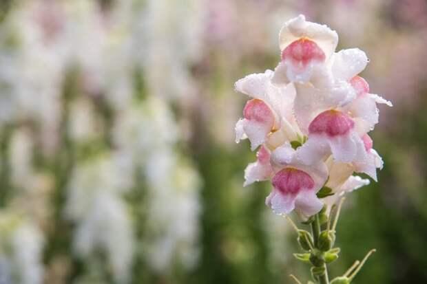 Antirrhinum majus dragon flower in bloom in garden.