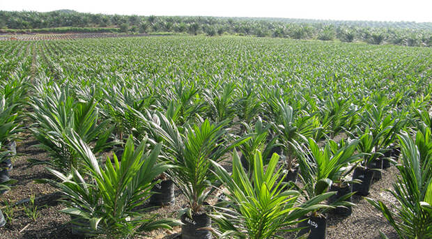 Пальмовое масло — новый «суперфуд»?