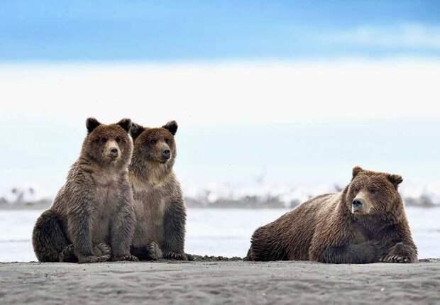 ФОТОВЫСТАВКА. Olav Thokle: забавные медведи