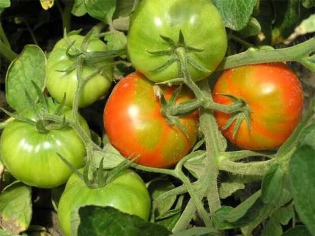 Хотите ускорить созревание помидоров? Напоите их водкой!