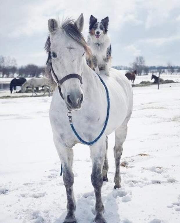 Овчарка Робин катается на лошадях и отлично держится в седле