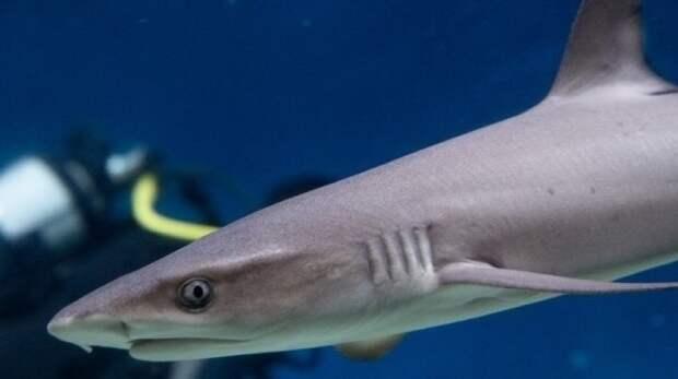 Детеныша белоперой рифовой акулы впервые покажут в Москвариуме