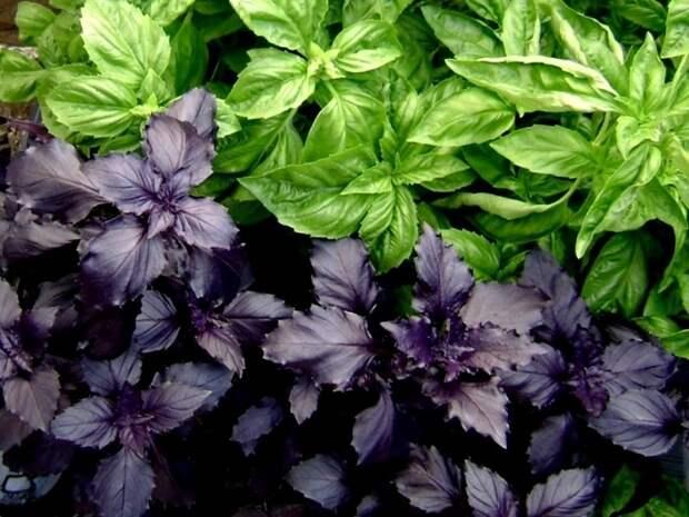 Зеленый и фиолетовый базилик в кулинарии - Smak.ua