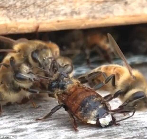 И старательно начали отчищать подругу от всего, что на нее налипло, чтобы она снова могла летать взаимовыручка, живая природа, насекомые, пасека, помощь, пчела, пчёлы, улей