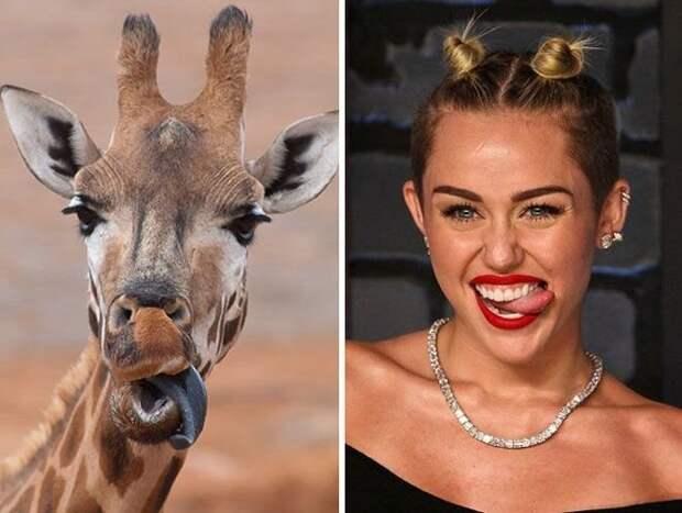 Майли Сайрус и жираф, стоп нет, первая фотка всё таки жирафа животные, копии, юмор
