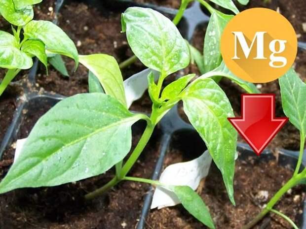 Почему листья перца скручиваются