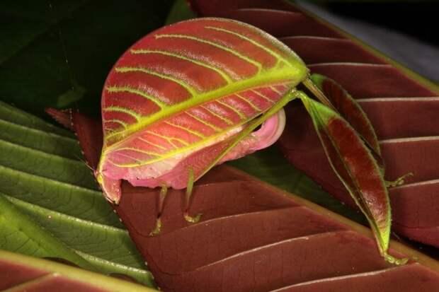 А вот самка кузнечика Eulophophyllum kirki животные, интересное, маскировка, мимикрия, попробуй найди, чудо