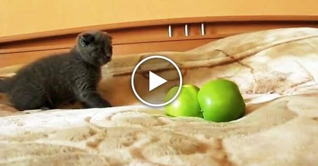 Котенок против двух яблок. Самый жестокий и милый бой