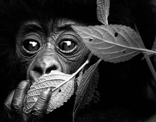 Портрет шокированной чем-то гориллы