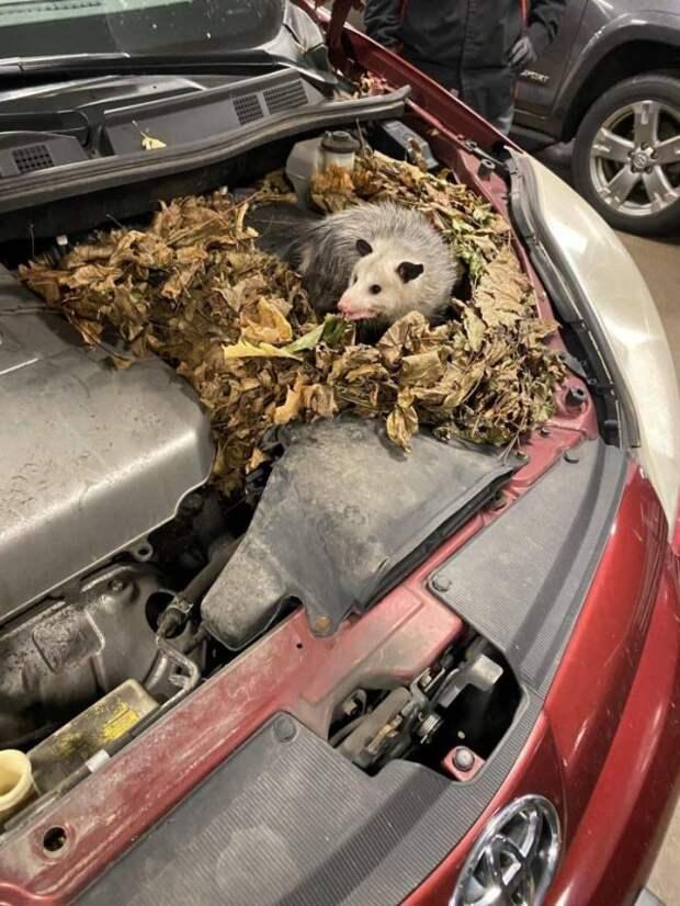 Зверек живет под капотом машины