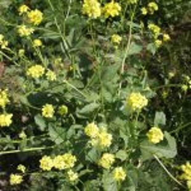 Cурепка обыкновенная (Barbarea vulgaris)
