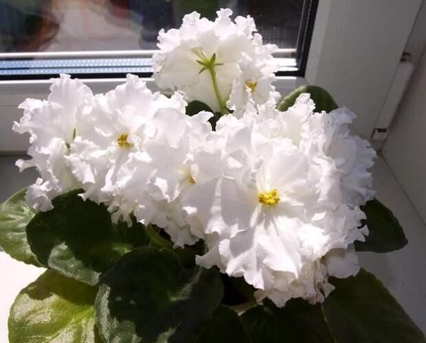 Волшебная фиалка – секреты длительного цветения