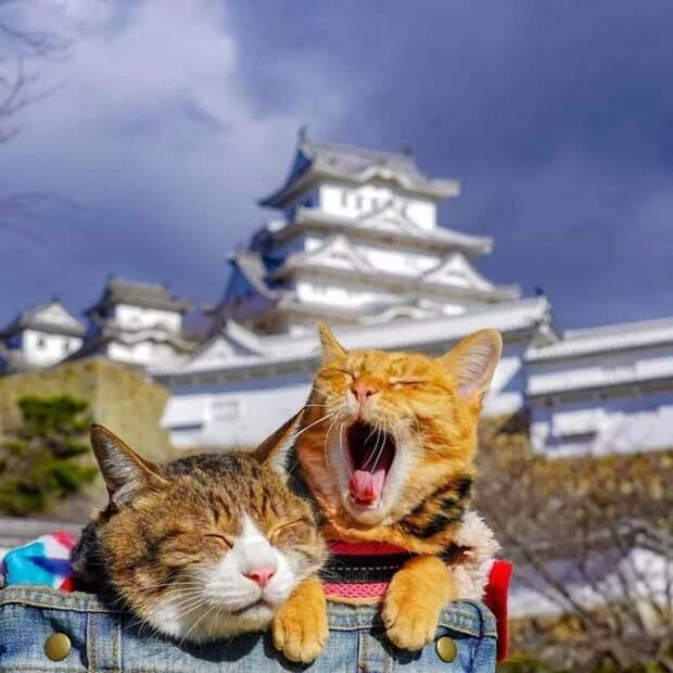 Дайкичи и Фуку-Чан - кошки, которые путешествуют вместе со своим хозяином