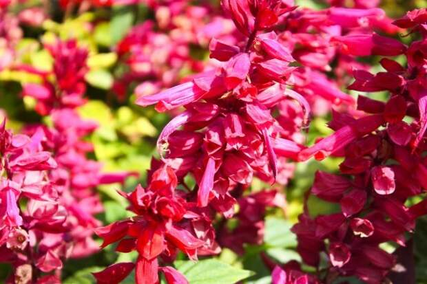Salvia splendens (Scarlet Sage, Tropical Sage) is a tender herbaceous perennial that is native to Brazil