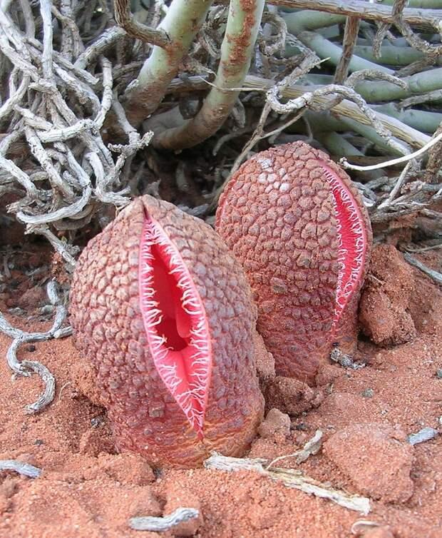 Африканская гиднора – одно из самых странных на вид растений