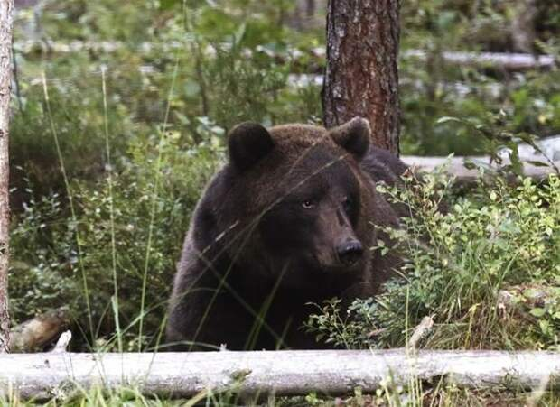 8. Бурые медведи