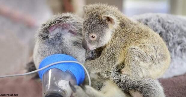 6-месячная коала не отходила от мамы даже во время операции