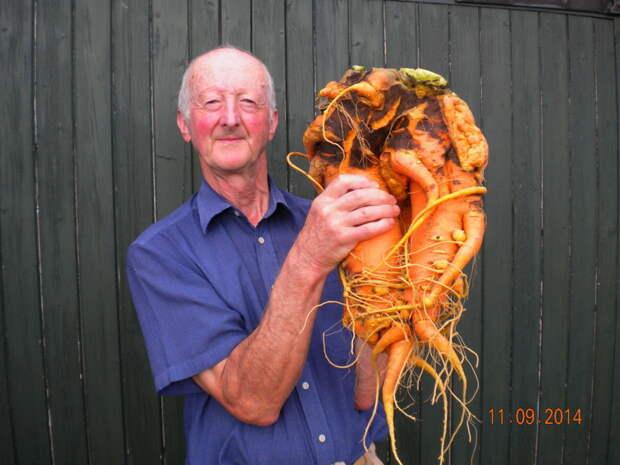 Исполинская морковка. огород, самые большие овощи, урожай