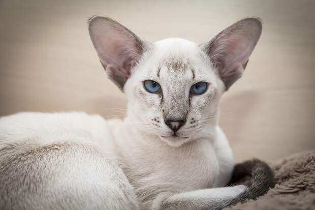 Сиамские кошки. Красивые фото. Необычный окрас