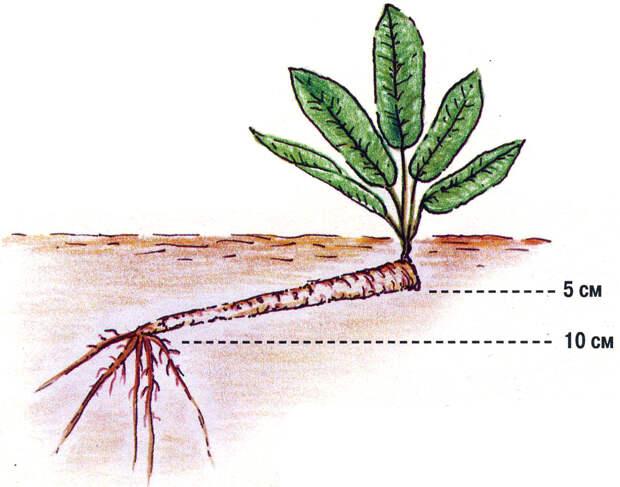 Выращивание хрена – авантюра для дачника
