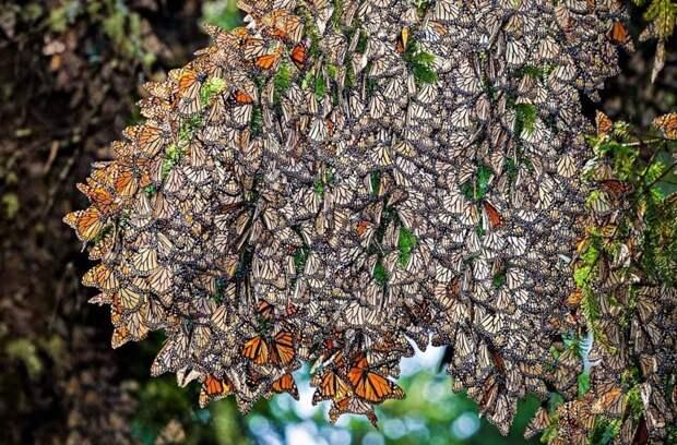 """Бабочки устраивают массовый """"полет"""" - мигрируют. Например известное красивое и одновременно пугающее зрелище мигрирующих бабочек Монарх инсектофобия, интересное, много, насекомые, природа, рой, скопление"""
