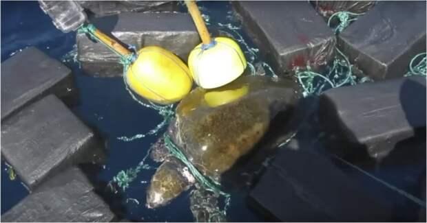 Спасение запутавшейся в 700-килограммовом грузе кокаина черепахи видео, животные, кокаин, наркотики, спасение, сша, черепаха