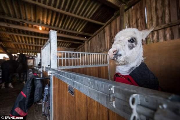 Познакомьтесь с Отти — будущим самым крохотным осликом в мире