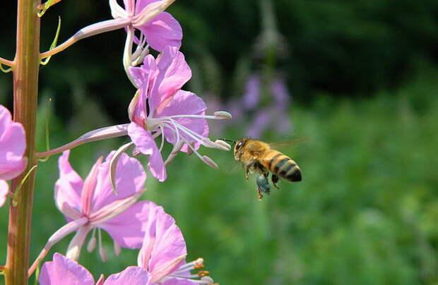 Пчёлы лечат людей