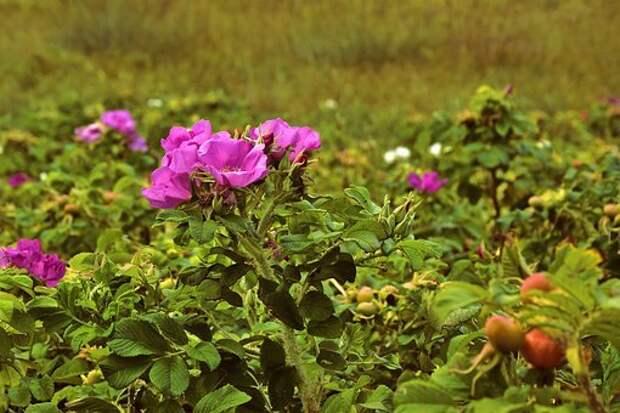 В Ботаническом саду высадят шиповник