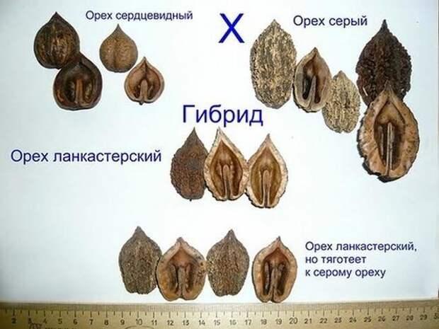 Ланкастерский орех - удачный ребенок ореха серого и сердцевидного. Фото с сайта forum.prihoz.ru Радик М. abrikos56@yandex.ru
