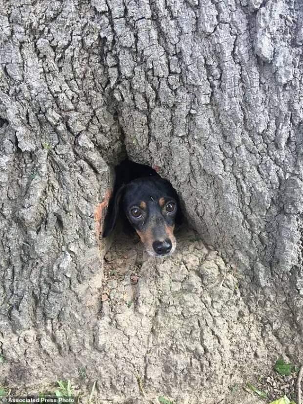 В Китае спасли застрявшего в балконе щенка, а в штате Кентукки застрявшую в дереве таксу