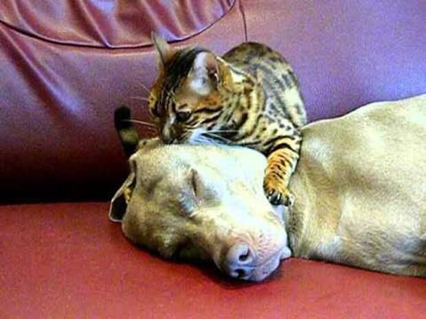 Кошка проводит сеанс гипнотерапии