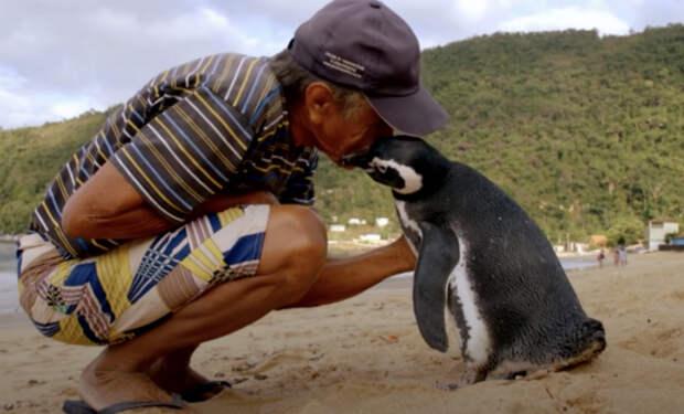 Рыбак нашел на берегу пингвина, выходил его и отпустил. Через год пингвин вернулся, проплыв 8000 километров