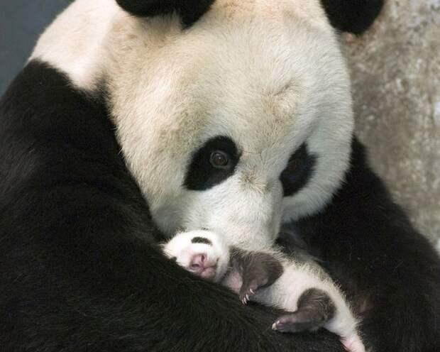 3. Малыш панды детеныш, животные