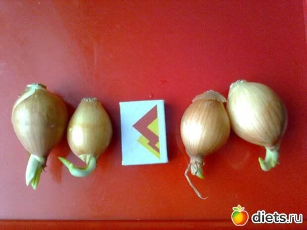 как вырастить лук на подоконнике/3518263_b5 (500x375, 46Kb)