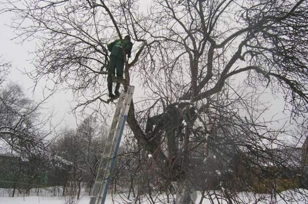 Мужчина обрезает яблоню с лестницы