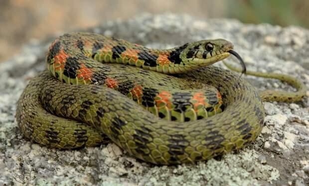 Тигровый уж: Русская рулетка от мира рептилий. Змея с Дальнего Востока, которая может быть ядовитой, а может и не быть.
