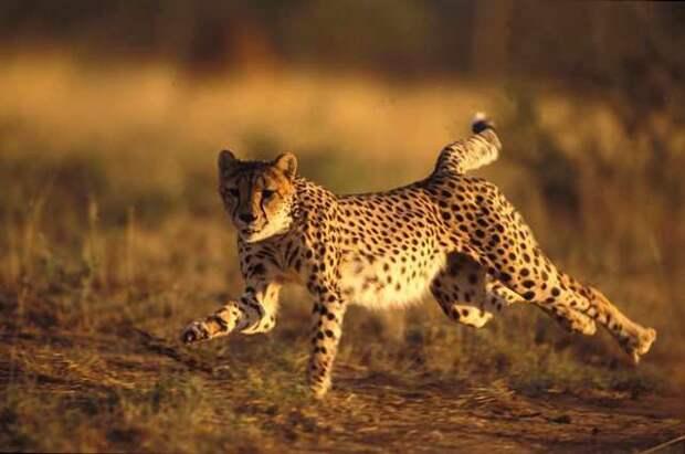 Азиатский гепард. животные, красная книга, факты
