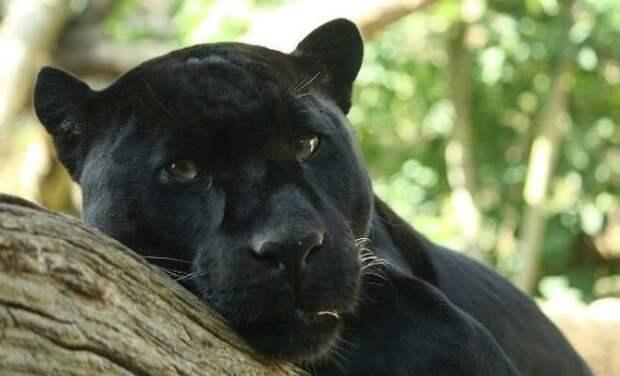 Маленькие пантеры животные, коты, факты