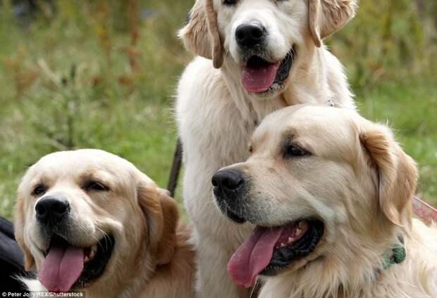Сотни золотистых ретриверов отпраздновали 150-летие своей породы в Шотландии в мире, животные, золотистый ретривер, порода собак, породистые, праздник, собаки, фото